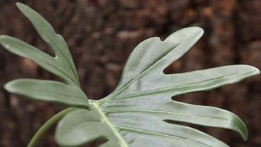 Tämä kaunis filodendroni