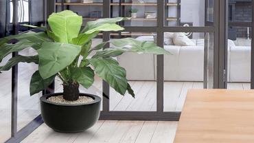 Suuret huonekasvit kotiisi