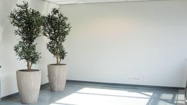 Oliivipuu – rahu ja heaolu sümbol