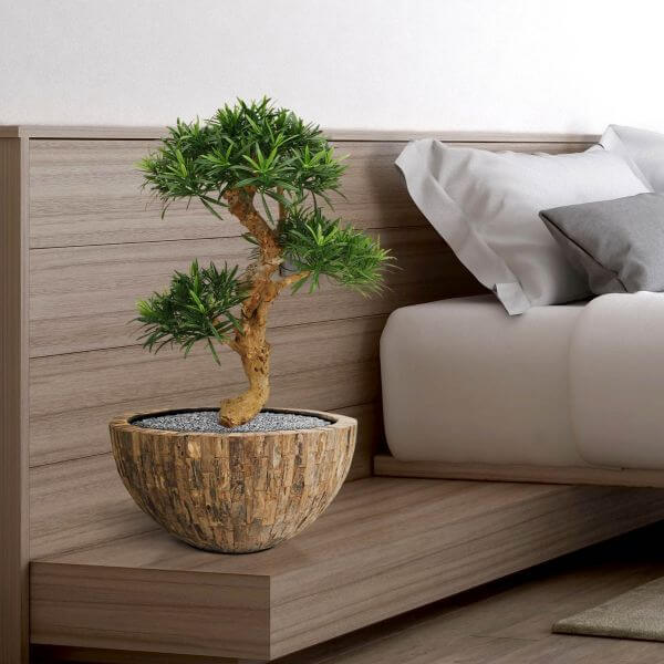 podokarpus bonsai