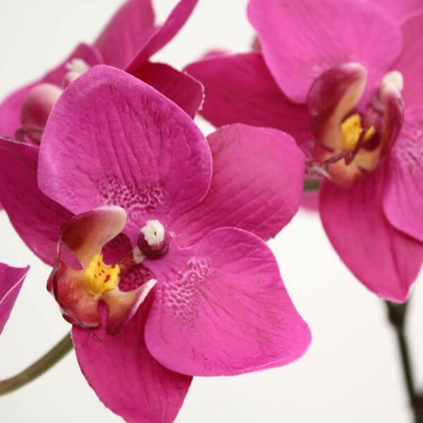elutruu orhidee